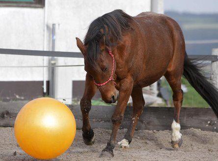 *CAV Pferdesenioren Delano spielt Fußball MS*