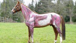 Anatomie Teil 3 - Die Muskeln des Pferds