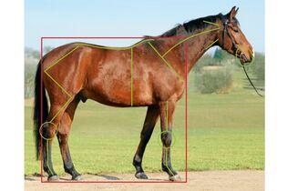Wenn das Iliosakralgelenk des Pferds blockiert - cavallo de
