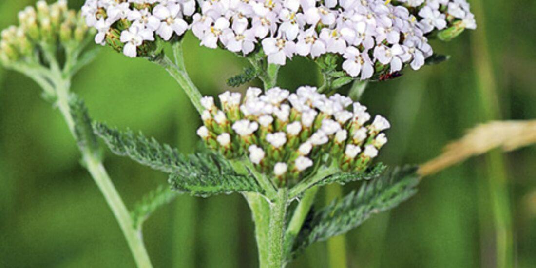 CAV 06_2010 Giftpflanzen_Fotolia_11201428_S (jpg)
