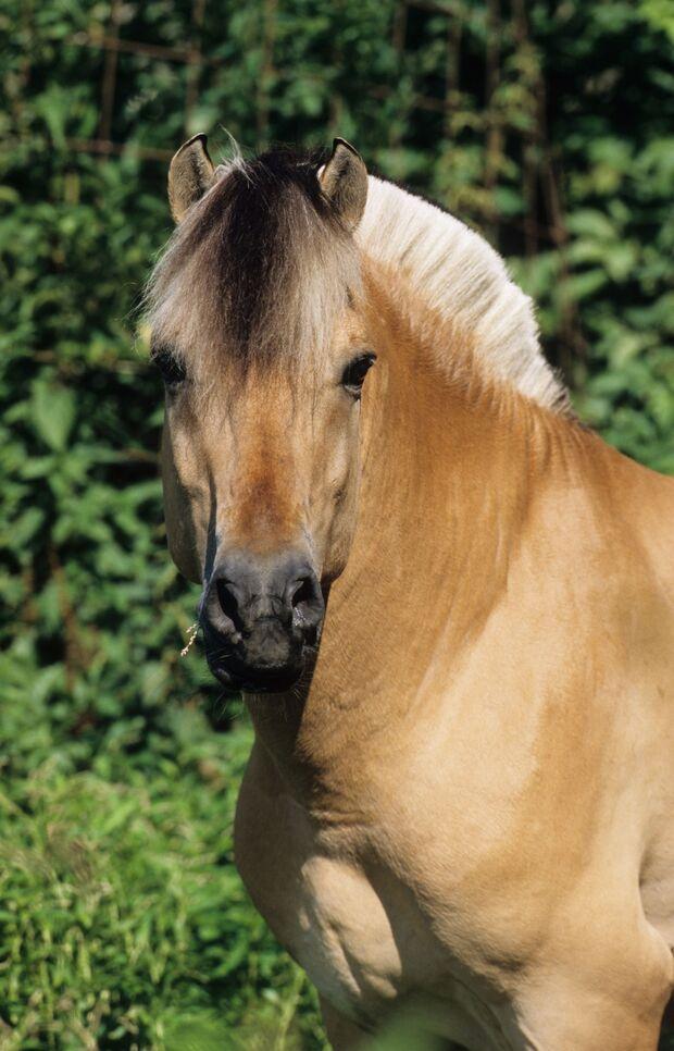 CAV_1111_PferdPur_Winterfell_Nowegian-Horse_Stuewer (jpg)