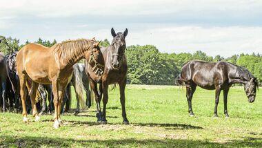 CAV Außenseiter Pferde Weide