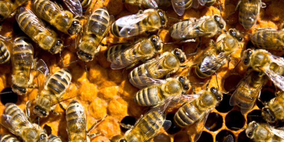 CAV Bienen Waben Honig Propolis