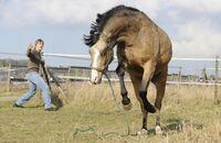 CAV Buckelndes Pferd