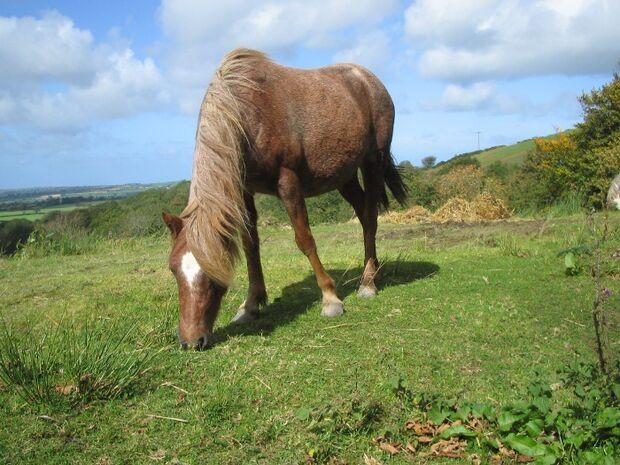 CAV Carneddau Pony Grasen Weide
