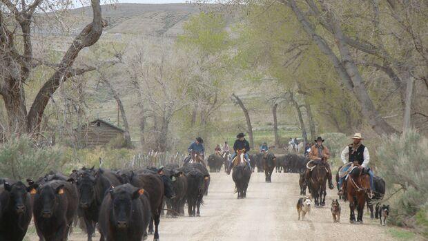CAV Cattle Drive Western Horsemanship Montana Rinder MS_08