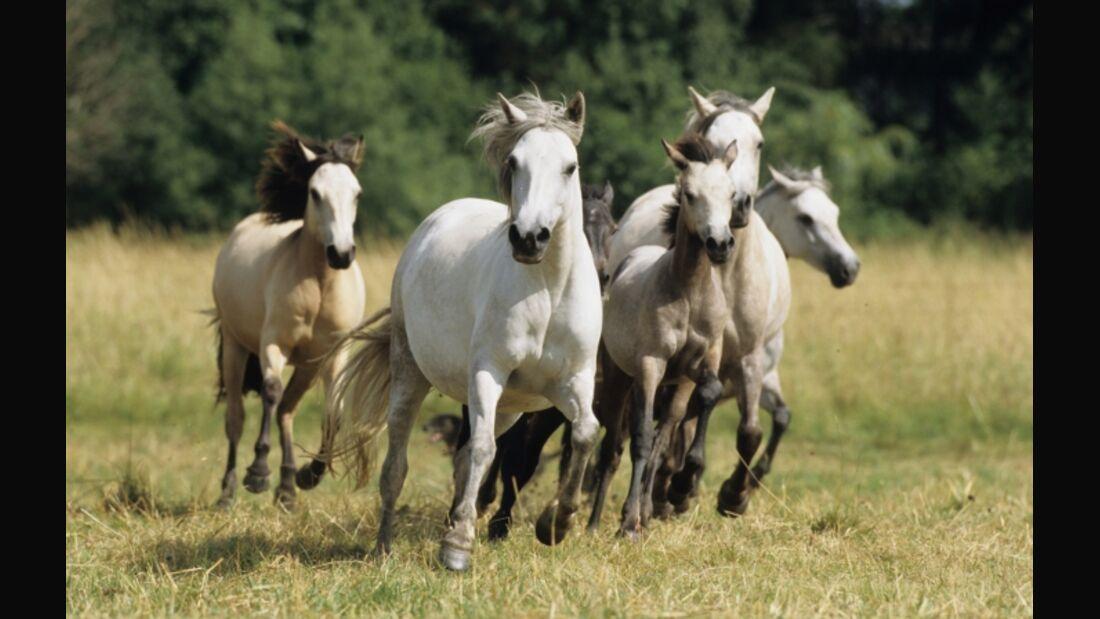 CAV Connemara Pony Weide Galopp Herde