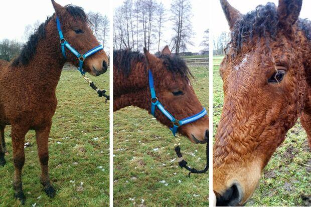 CAV Curly Horses Leserfotos Katharina Schubert
