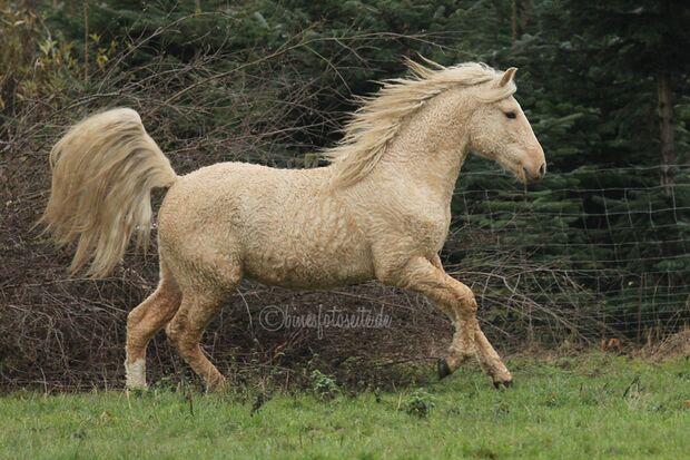 CAV Curly Horses Leserfotos Sylvia Hentzschel-Bahrs 2