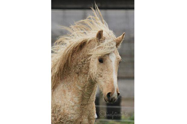 CAV Curly Horses Leserfotos Sylvia Hentzschel-Bahrs 3
