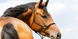 CAV Doping Nada Pferd Training Knotenhalfter Warmblut