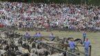 CAV Dülmener Wildpferde Rasse Pferd 13