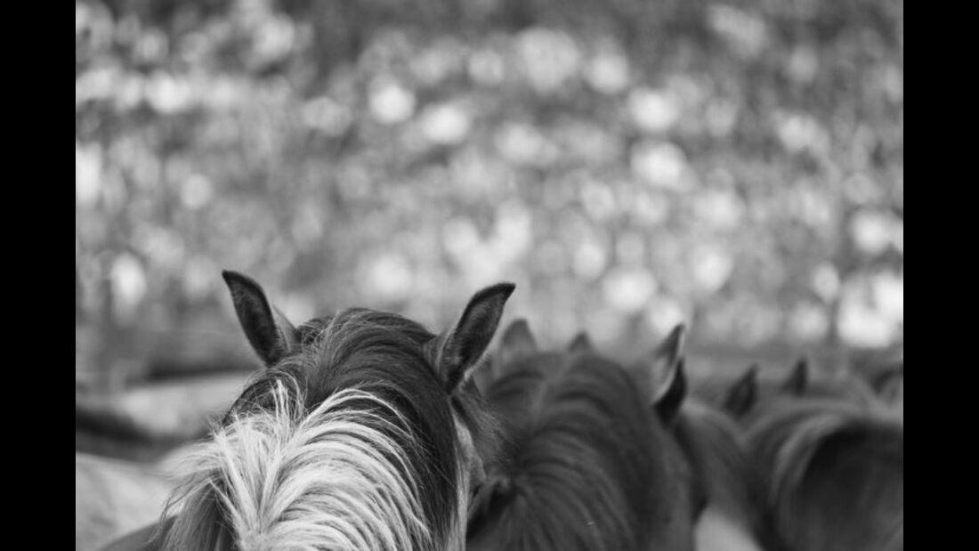 CAV Dülmener Wildpferde Rasse Pferd