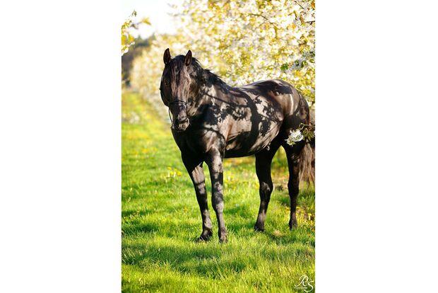 CAV Fan-Pferde Black Seven Claudia Krahn