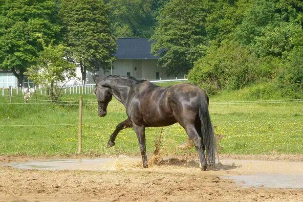 CAV Fan-Pferde Dorian Gray Sarah Pilz