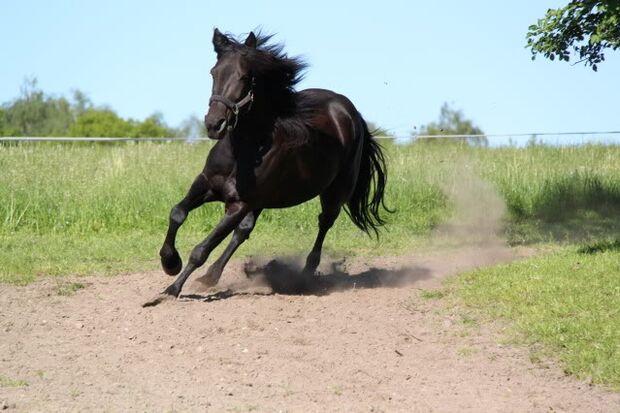 CAV-Fan-Pferde-Leseraktion-2013-Braun_Arabesque (JPG)
