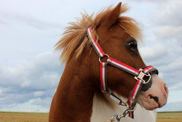 CAV Fan-Pferde Sally Leonie Marie