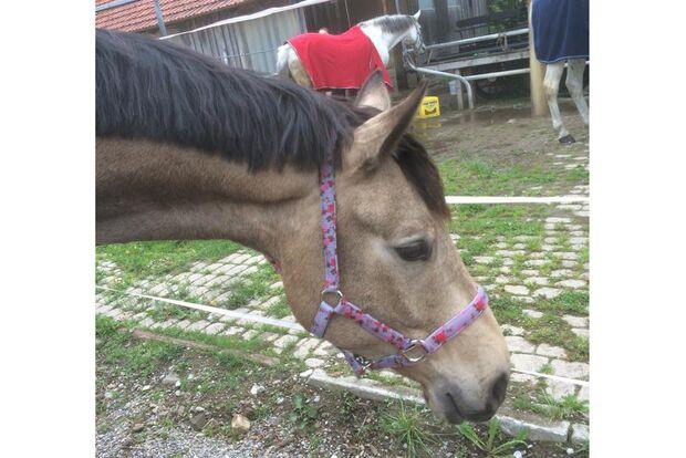 CAV Geburtstagspferde Cynthia Heffalump