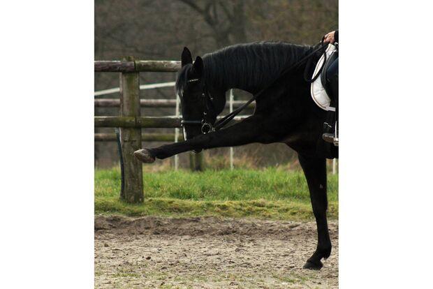 CAV Gelenkige Pferde Cerstin Meding
