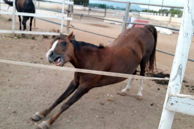 CAV Gelenkige Pferde Sandra Hofner