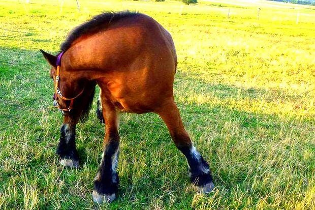 CAV Gelenkige Pferde Sylvia Behrends