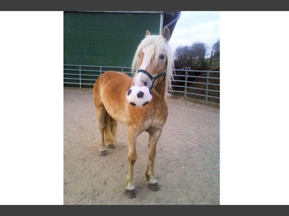 CAV Haflinger Pferderasse Rasse Leserfotos 52