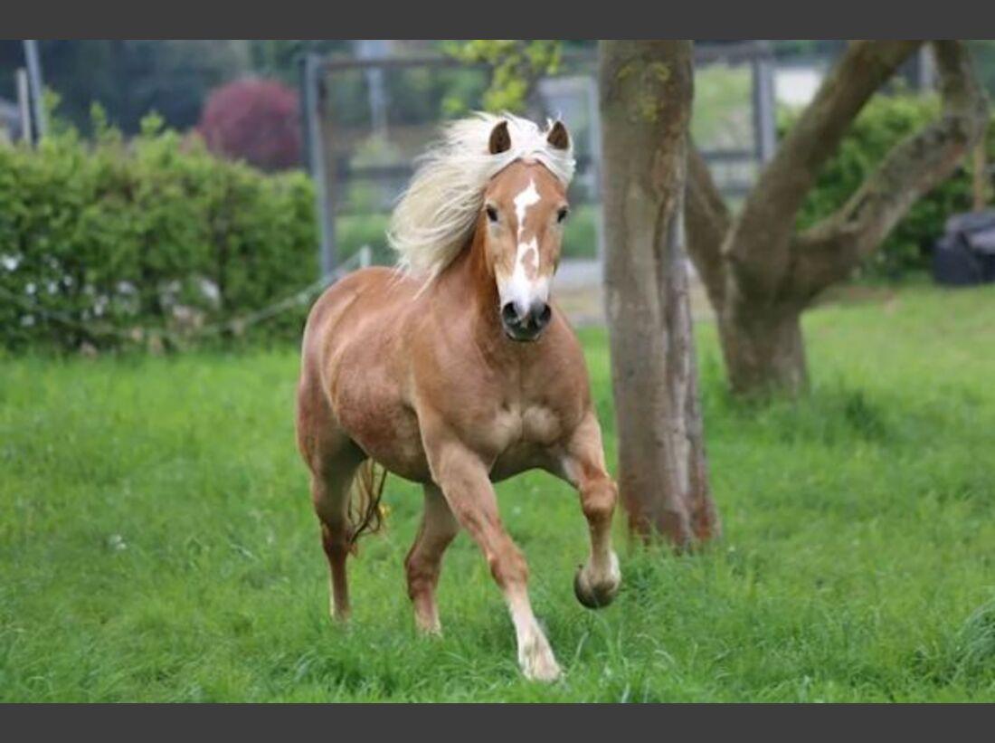 CAV Haflinger Pferderasse Rasse Leserfotos 53