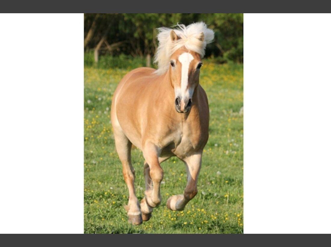 CAV Haflinger Pferderasse Rasse Leserfotos 54