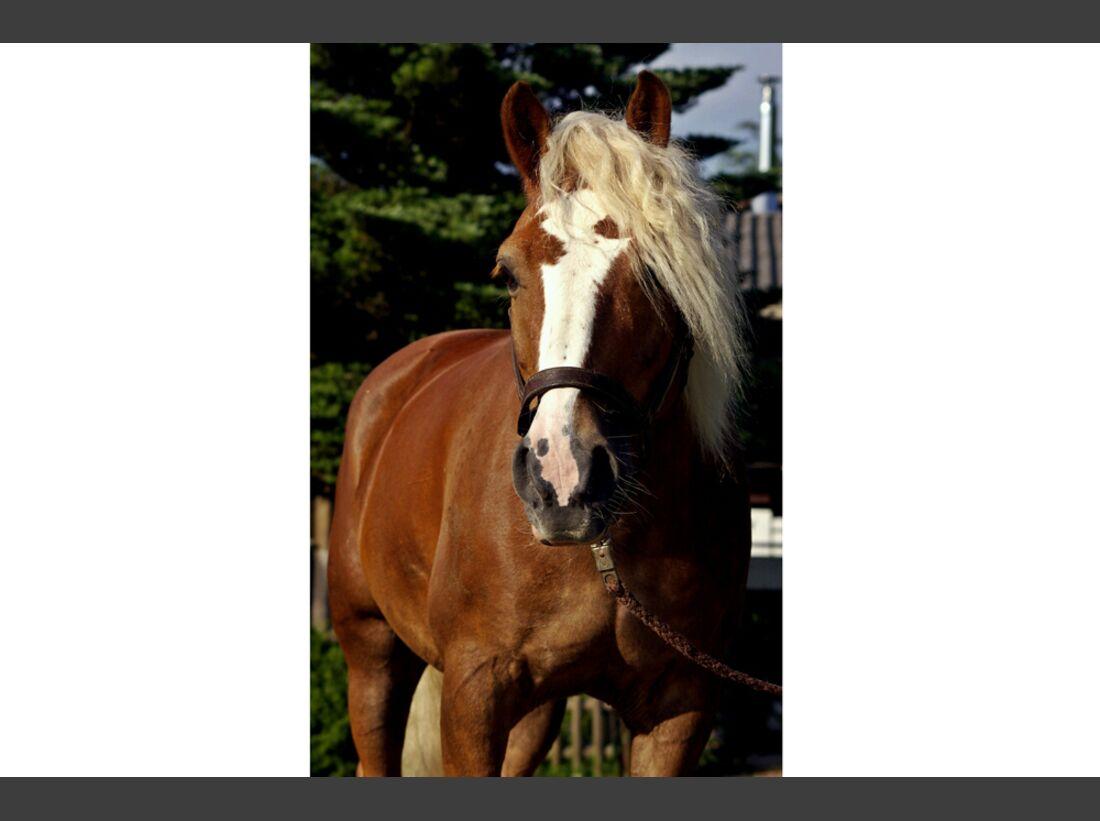 CAV Haflinger Pferderasse Rasse Leserfotos Johanna