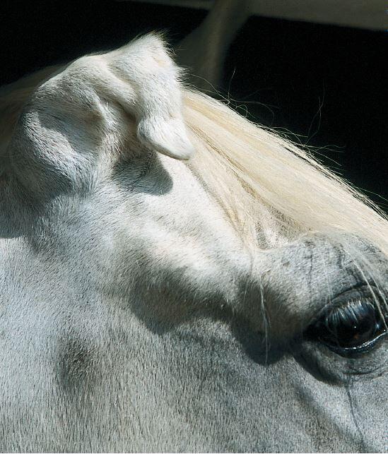 CAV Handicap Handicap-Pferde Ohr Schimmel