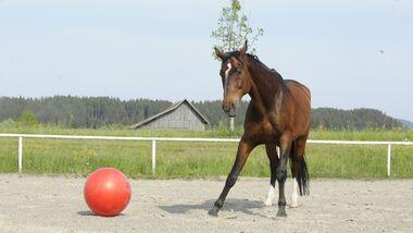 CAV Intelligenz Intelligenz-Test Intelligenztest 08 Pferd Futter GHP