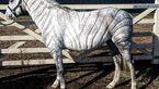 CAV Jillian Scoot Pferdefrisuren Zebra