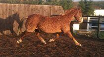 CAV Jullian Scott Pferdefriseurin Leopard