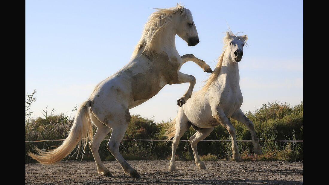 CAV Kämpfende Pferde