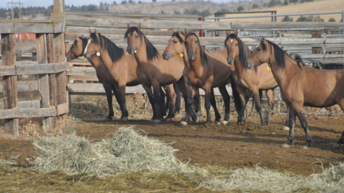 CAV Kiger Mustangs Rasse_01