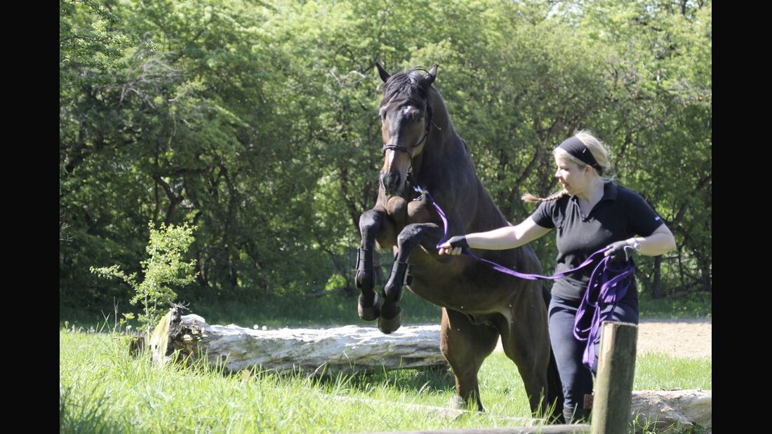 CAV Lord Rennpferd Freizeitpferd