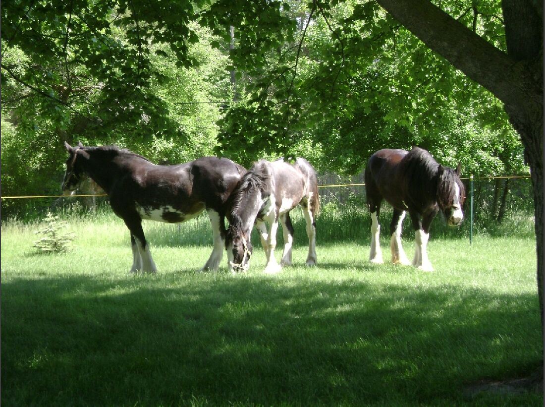 CAV_MS Clydesdales_Our mares in the front yard (jpg)