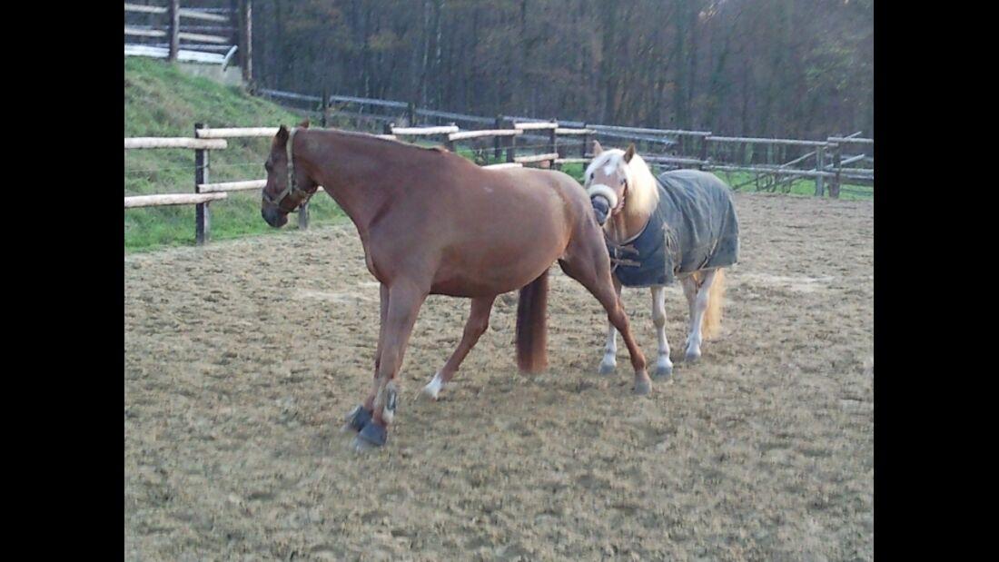 CAV Massage Knabbern Weide Koppel Paddock Pferd