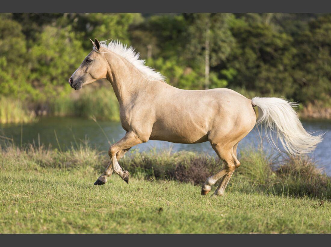 CAV Nooitgedachter Rasse Pferderasse 7
