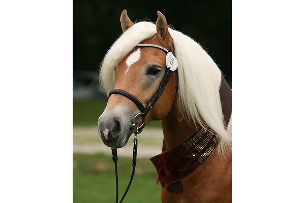 CAV Original Haflinger Pferde - 10