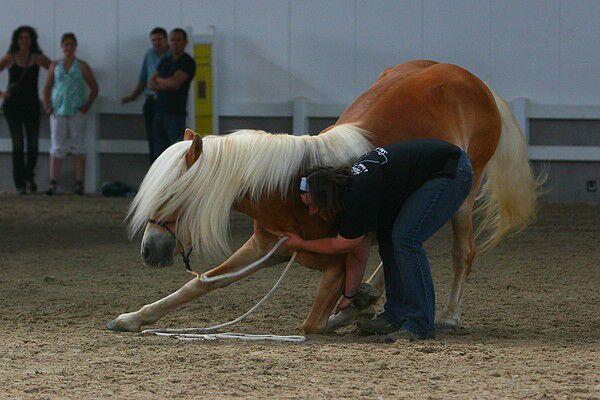 CAV Original Haflinger Pferde - 16