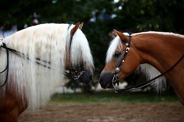 CAV Original Haflinger Pferde - 19