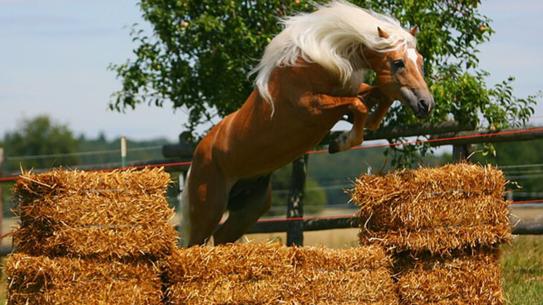 CAV Original Haflinger Pferde - 3