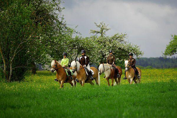 CAV Original Haflinger Pferde - 5
