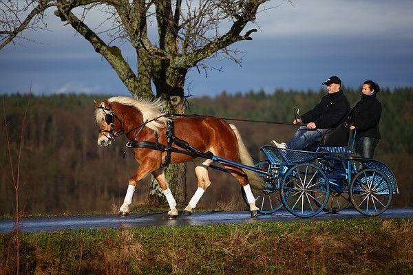 CAV Original Haflinger Pferde - 6