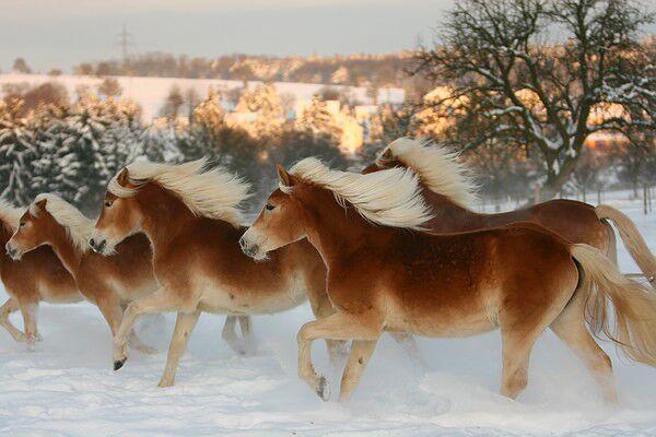 CAV Original Haflinger Pferde - 8