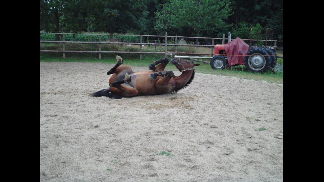 CAV Pferd Brauner Wälzen Paddock