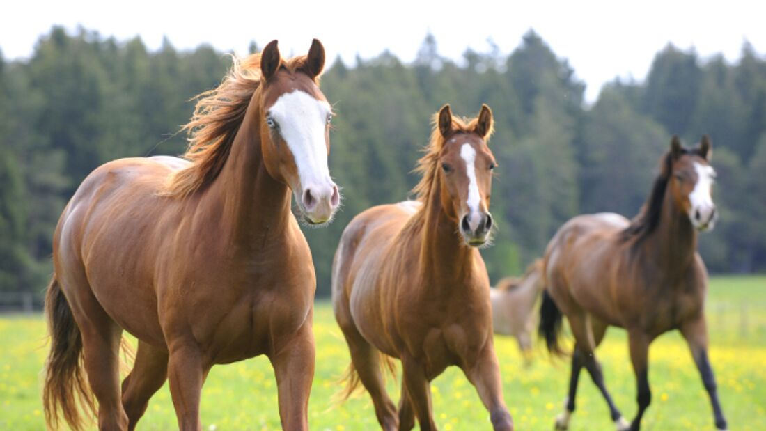 CAV Pferd Herde Weide Koppel Grasen