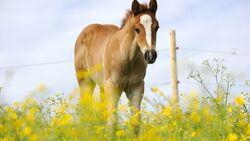 CAV Pferd Herde Weide Koppel Grasen Fohlen