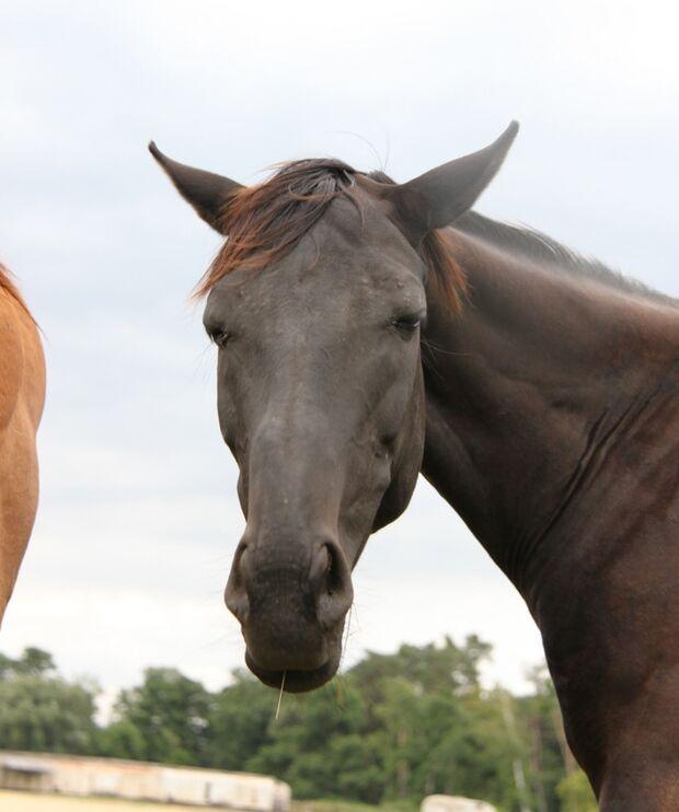 CAV Pferd Kopf Ohren Nüstern Brauner